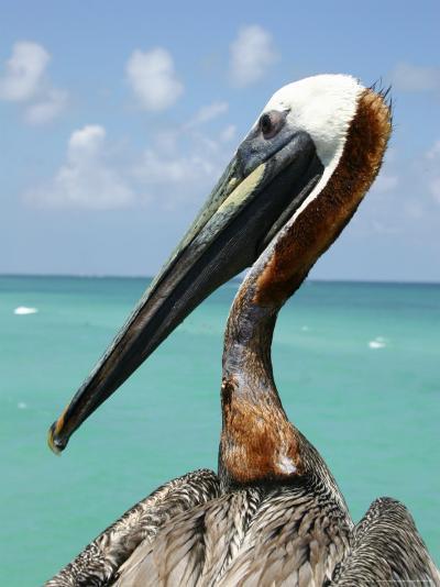 Personable Pelican Portrait Along Florida's Coastline-Stephen St^ John-Photographic Print