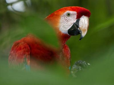 Peru; a Brilliant Scarlet Macaw in the Tropical Forest of the Amazon Basin-Nigel Pavitt-Photographic Print
