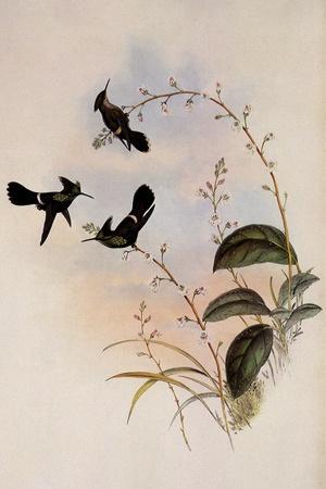 https://imgc.artprintimages.com/img/print/peruvian-coquette-lophornis-verreauxi_u-l-q1bvlbv0.jpg?p=0