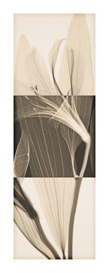 Peruvian Lily II-Steven N^ Meyers-Giclee Print