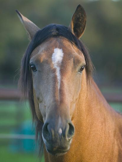 Peruvian Paso Horse-DLILLC-Photographic Print