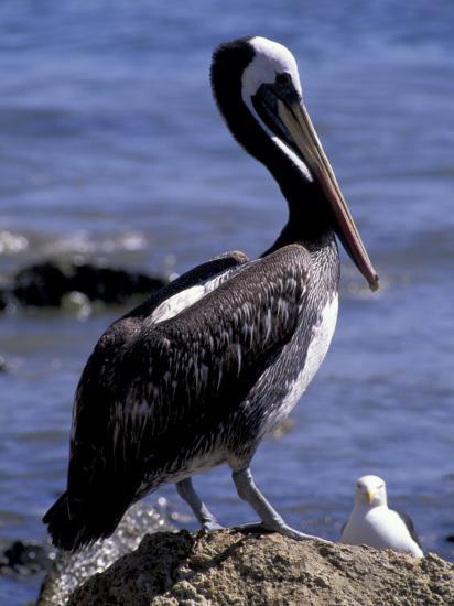 Peruvian Pelican, Coquimbo, Chile-Andres Morya-Photographic Print