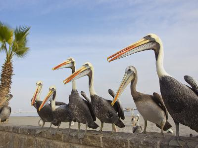 Peruvian Pelicans Sitting on a Seawall at the Beach-Mike Theiss-Photographic Print