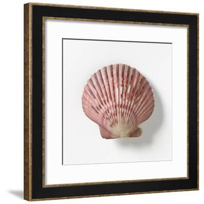 Peruvian Scallop--Framed Photographic Print