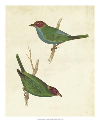 Peruvian Tanager II-Cassin-Giclee Print