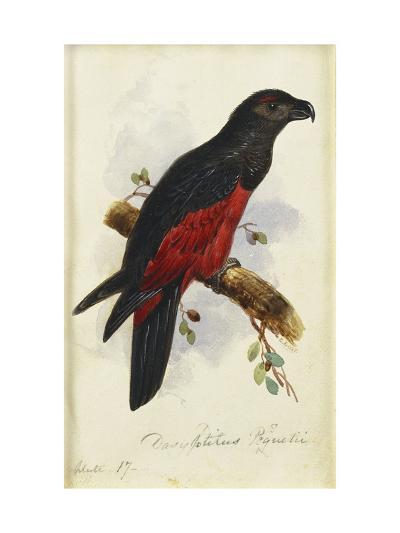 Pesquet's Dasyptilus (Dasyptilus Pesquetii)-Edward Lear-Giclee Print