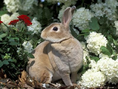 Pet Domestic Mini Rex Rabbit Amongst Hydrangea Flowers-Lynn M^ Stone-Photographic Print