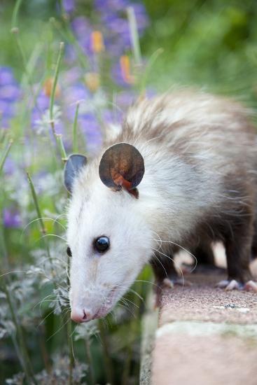Pet Possum-Grove Pashley-Photographic Print
