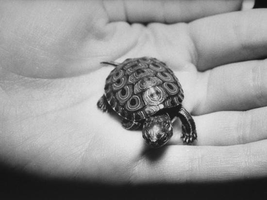 Pet Turtle-Ralph Morse-Photographic Print