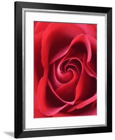 Petals of Red Rose-Clive Nichols-Framed Photographic Print