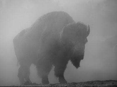 Bison, Bull Silhouetted in Dawn Mist, Yellowstone National Park, USA by Pete Cairns