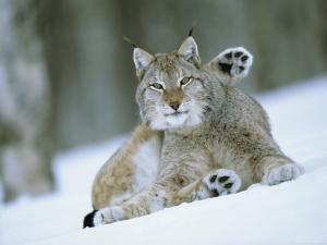 European Lynx Male Grooming in Snow, Norway by Pete Cairns