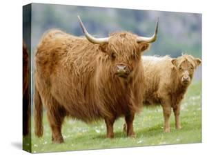 Highland Cow and Calf, Strathspey, Scotland, UK by Pete Cairns