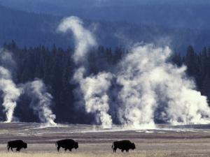 Landscape with Bison and Steam from Geysers, Yellowstone National Park, Wyoming Us by Pete Cairns