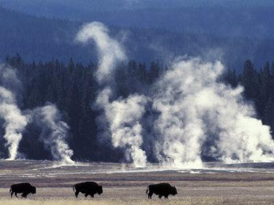 Landscape with Bison and Steam from Geysers, Yellowstone National Park, Wyoming Us