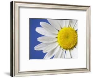 Marguerite / Ox Eye Daisy (Leucanthemum Vulgare) UK by Pete Cairns