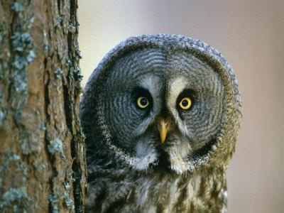 Portrait of Great Grey Owl (Strix Nebulosa) Behind Scots Pine Tree, Scotland, UK