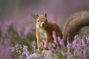 Red Squirrel (Sciurus Vulgaris) in Flowering Heather. Inshriach Forest, Scotland, UK, September by Pete Cairns