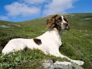 Springer Spaniel, Scotland, UK by Pete Cairns