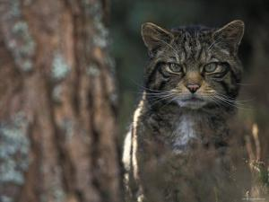 Wild Cat in Pine Forest, Cairngorms National Park, Scotland, UK by Pete Cairns