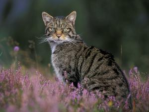 Wild Cat Portrait Amongst Heather, Cairngorms National Park, Scotland, UK by Pete Cairns