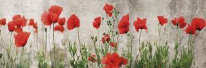 Wild Poppy Panorama by Pete Kelly