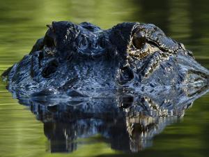 American Alligator (Alligator Mississippiensis), Okefenokee National Wildlife Refuge, Florida, Usa by Pete Oxford