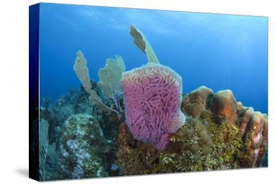 Azure Vase Sponge, Hol Chan Marine Reserve, Belize