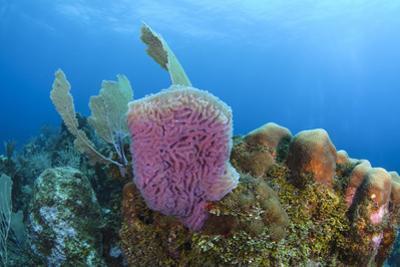 Azure Vase Sponge, Hol Chan Marine Reserve, Belize by Pete Oxford