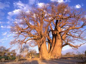 Baobab, Okavango Delta, Botswana by Pete Oxford