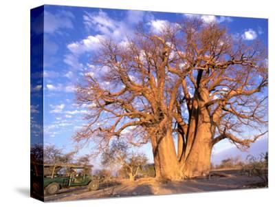 Baobab, Okavango Delta, Botswana