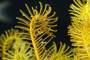 Bennett's Feather Star (Oxycomanthus Bennetti), Rainbow Reef, Fiji by Pete Oxford