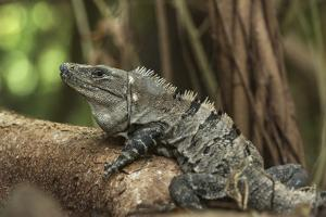 Black Spiny-Tailed Iguana, Half Moon Caye, Lighthouse Reef, Atoll Belize by Pete Oxford