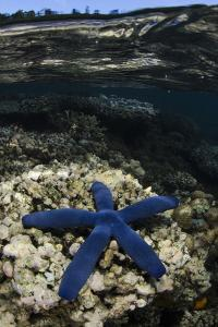 Blue Sea Star (Linckia Laevigata), on Coral Reef, Fiji by Pete Oxford