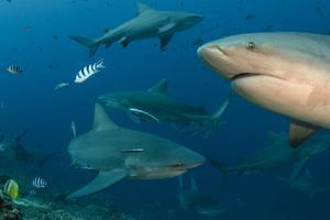 Bull Shark, Commercial Shark Feeding, Benga Lagoon, Viti Levu, Fiji by Pete Oxford