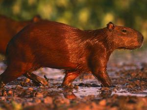 Capybara, Pantanal, Brazil by Pete Oxford