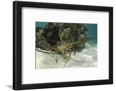 Caribbean Spiny Lobster, Half Moon Caye, Lighthouse Reef, Atoll, Belize