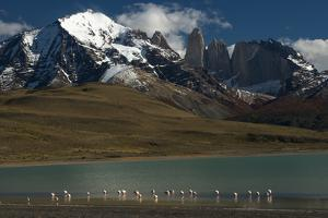 Chilean Flamingo on Blue Lake, Torres del Paine NP, Patagonia, Chile by Pete Oxford