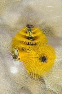 Christmas Tree Worm (Spirobranchus), Fiji by Pete Oxford