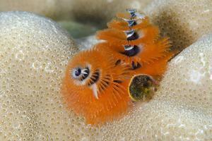 Christmas Tree Worm (Spirobranchus) Fiji by Pete Oxford