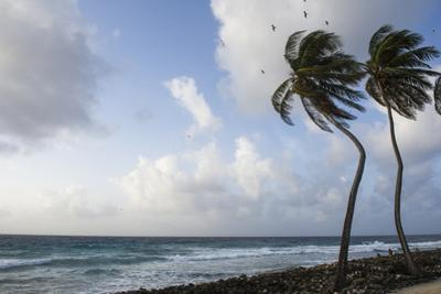 Coconut Palm and Magnificent Frigatebird, Half Moon Caye, Lighthouse Reef, Atoll, Belize by Pete Oxford