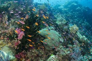 Coral Reef Diversity, Fiji by Pete Oxford