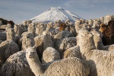 Cotopaxi Volcano and Alpacas, Cotopaxi National Park, Andes, Ecuador by Pete Oxford