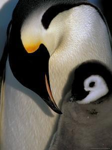Emperor Penguins, Atka Bay, Weddell Sea, Antarctic Peninsula, Antarctica by Pete Oxford