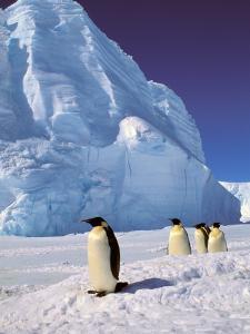 Emperor Penguins, Cape Darnley, Australian Antarctic Territory, Antarctica by Pete Oxford