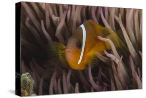 Fiji Anemone Fish Sheltering in Host Anemone for Protection, Fiji by Pete Oxford