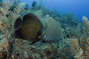 French Angelfish, Hol Chan Marine Reserve, Ambergris Caye, Belize by Pete Oxford