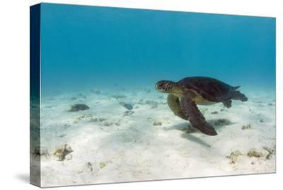 Galapagos Green Sea Turtle Underwater, Galapagos Islands, Ecuador