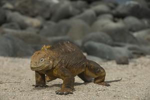 Galapagos Land Iguana, North Seymour Island Galapagos Islands, Ecuador by Pete Oxford