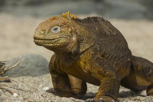 Galapagos Land Iguana, Seymour Island, Galapagos Islands, Ecuador by Pete Oxford